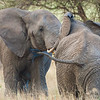Africa. Tanzania. Bull Elephants sparring at Tarangire NP.