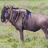 Africa. Tanzania. Wildebeest at Ndutu in the Ngorongoro Conservation Area.