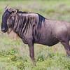 Africa. Tanzania. Wildebeest at Ndutu in the Ngorongoro Conservation Area.