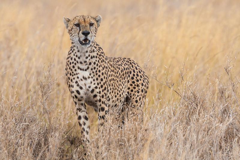 Africa. Tanzania. Cheetah at Serengeti NP.