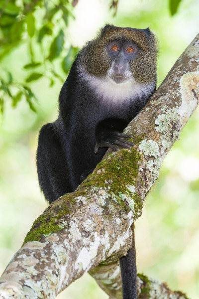 Africa. Tanzania. Blue Monkey (Syke's Monkey) in a tree at Arusha NP.