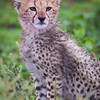 Africa. Tanzania. Cheetah cub at Ndutu in the Ngorongoro Conservation Area.