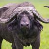 Africa. Tanzania. African buffalo, or Cape buffalo (Syncerus caffer) in Serengeti NP.