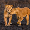 Africa. Tanzania. African lions (Panthera leo) patrol a recently burned wildfire area in Serengeti NP.