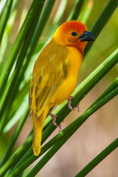 Africa. Kenya. Male Golden Palm Weaver near Mombasa.