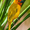 Africa. Kenya. Male Golden Palm Weaver near Mombasa.