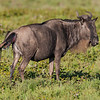 Africa. Tanzania. Wildebeest birth at Ndutu in the Ngorongoro Conservation Area.