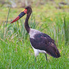 Africa. Tanzania. Male Saddle-billed Stork at Tarangire NP.