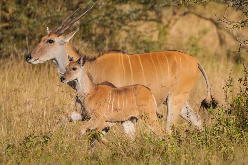 Giant Eland and young at Lake Nakuru NP, Kenya.