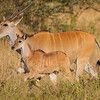 Giant Eland and young at Lake Nakuru NP, Kenya.