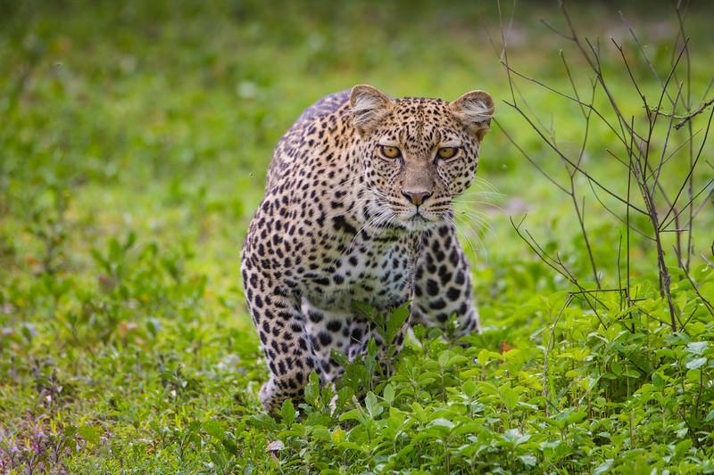 Africa. Tanzania. African leopard (Panthera pardus) stalking prey in Serengeti NP.