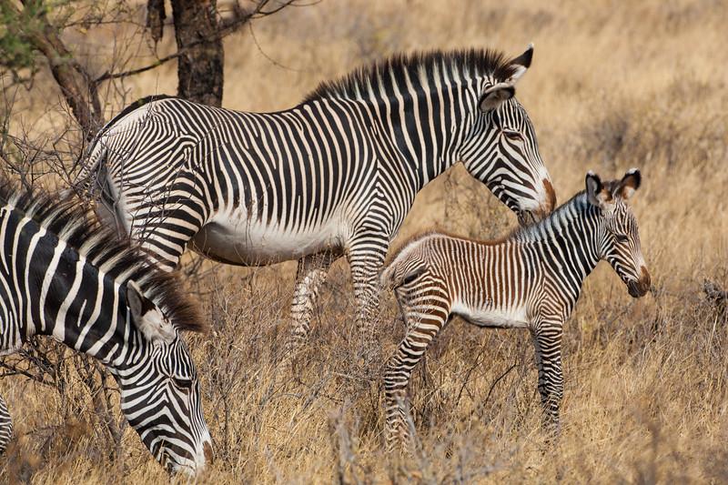 Africa. Kenya. Grevy's Zebra colt with mother at Samburu NP.