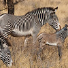 Africa. Kenya. Grevy's Zebra colt with mother at Samburu NP.