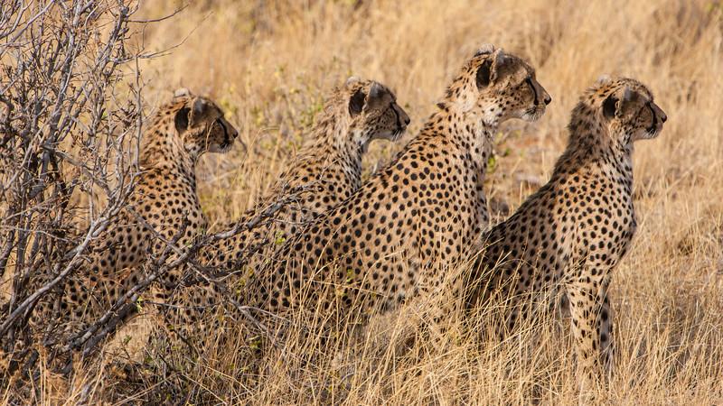 Africa. Kenya. Cheetahs hunting at Samburu NP.