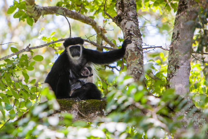 Africa. Tanzania. Black-and White Colobus monkey mother and baby in a tree at Arusha NP.