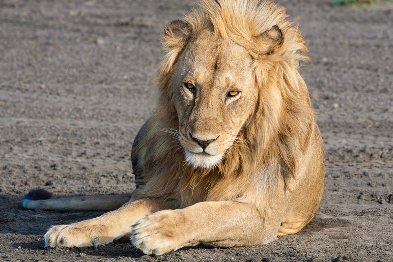 Africa. Tanzania. Male Lion at Ndutu in the Ngorongoro Conservation Area.