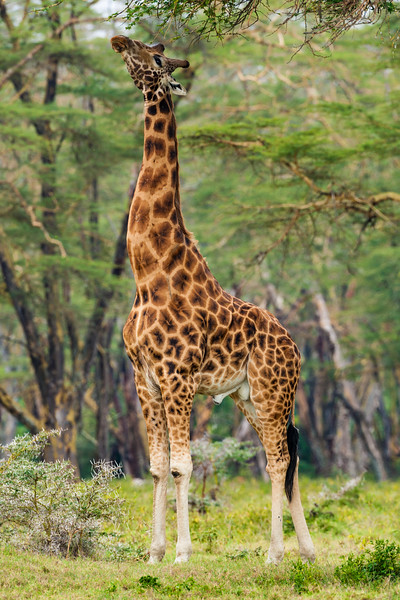 Africa. Kenya. Rothschild's Giraffe at Lake Nakuru NP.