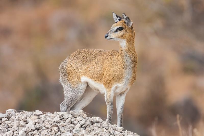 Africa. Tanzania. Klipspringer antelope at Manyara NP.