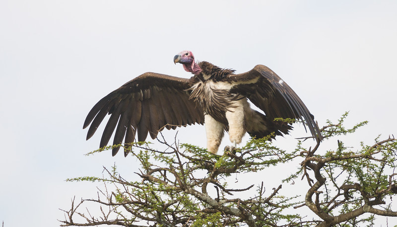 Africa. Tanzania. Lappet-faced Vulture in Serengeti NP.
