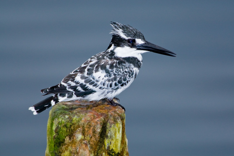 Africa. Kenya. Pied Kingfisher at Lake Naivasha.