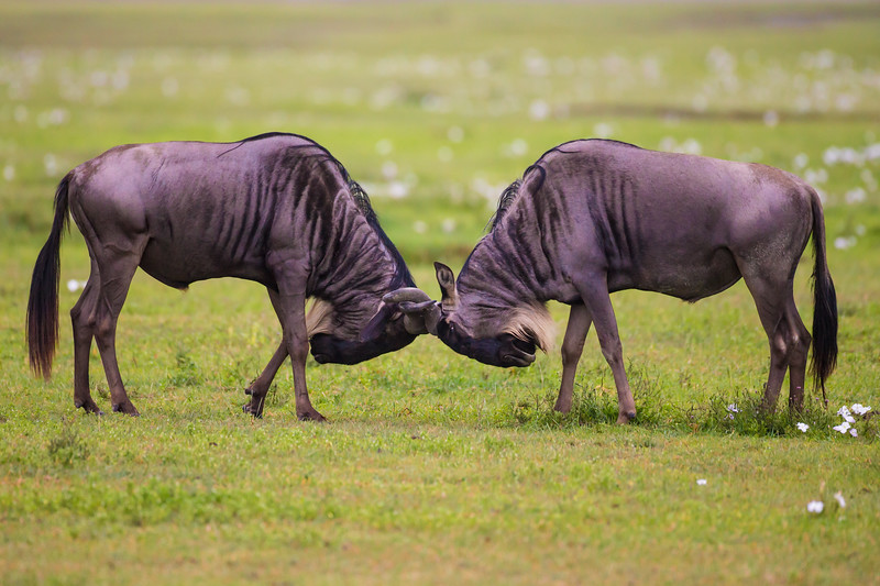 Africa. Tanzania. Wildebeest fighting during the annual Great Migration in Serengeti NP.