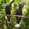 Africa. Tanzania. Silvery-cheeked hornbill (Bycanistes brevis) mating pair at Manyara NP.