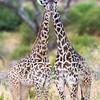 Africa. Tanzania. Masai Giraffes at Tarangire NP.