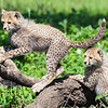 Africa. Tanzania. Cheetah cubs playing at Ndutu in the Ngorongoro Conservation Area.