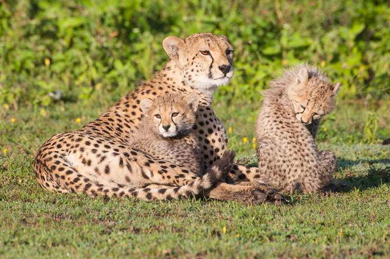 Africa. Tanzania. Cheetah mother and cubs playing at Ndutu in the Ngorongoro Conservation Area.