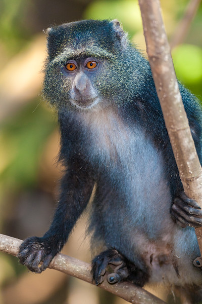 Africa. Tanzania. Blue Monkey (Syke's Monkey) at Manyara NP.
