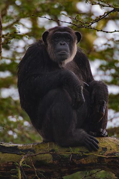 Chimpanzee at Ol Pejeta Reserve, Kenya.