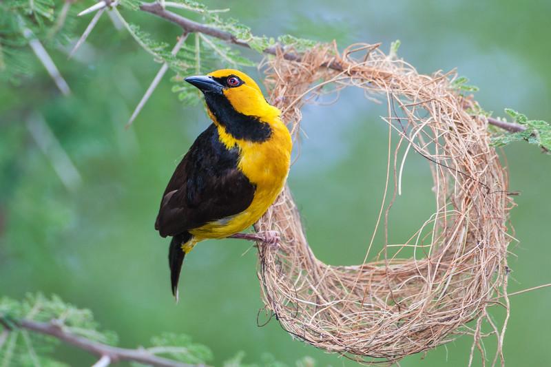 Africa. Tanzania. Male Black-Necked Weaver building a nest in Tarangire NP.