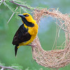 Africa. Tanzania. Male Black-Necked Weaver building a nest in Tarangire NP.