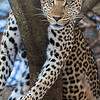 Africa. Tanzania. Leopard in tree at Serengeti NP.