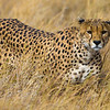 Africa. Tanzania. Cheetah (Acinonyx jubatus)  hunting on the plains of the Serengeti in Serengeti NP.