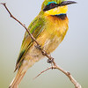 Africa. Tanzania. Little Bee Eater at Tarangire NP.