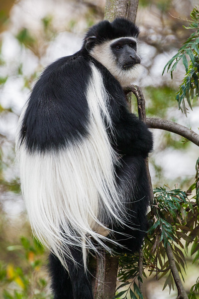 Africa. Kenya. A Black-and-White Colobus Monkey at Elsamere, the estate of the late author Joy Adamson, at Lake Naivasha.