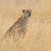Africa. Tanzania. Cheetah at Serengeti NP.