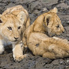Africa. Tanzania. Very young Lion cubs try to stay cool in a mudhole in Serengeti NP.