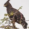 Africa. Tanzania. Long-crested Eagle in Serengeti NP.
