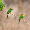 Africa. Tanzania. Little Bee Eaters at Manyara NP.