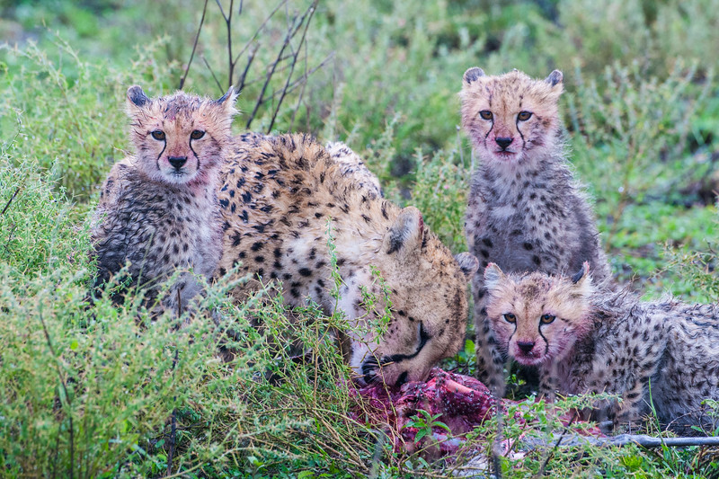 Africa. Tanzania. Cheetah mother and cubs with a recent kill at Ndutu in the Ngorongoro Conservation Area.