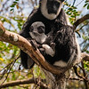 Africa. Kenya. A Black-and-White Colobus Monkey mother and newborn baby.
