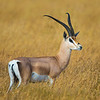 Africa. Tanzania. Grant's gazelle (Nanger granti) in Serengeti NP.