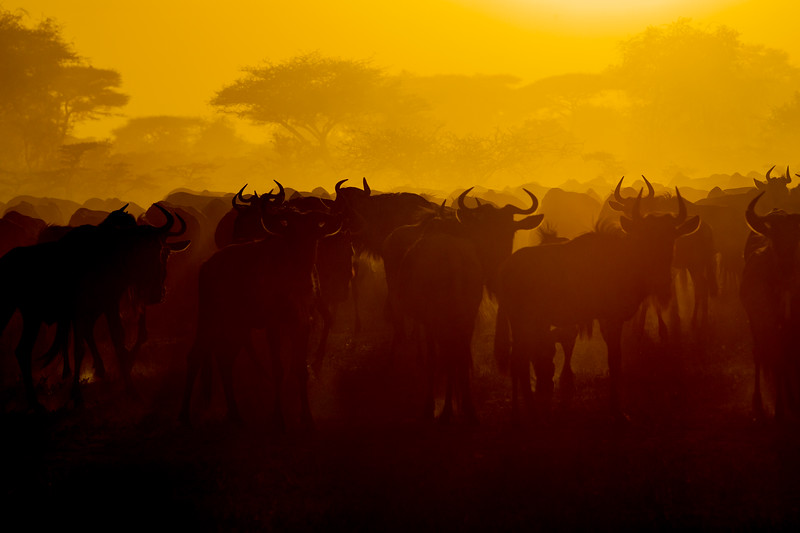 Africa. Tanzania. Wildebeest during the annual Great Migration in Serengeti NP.