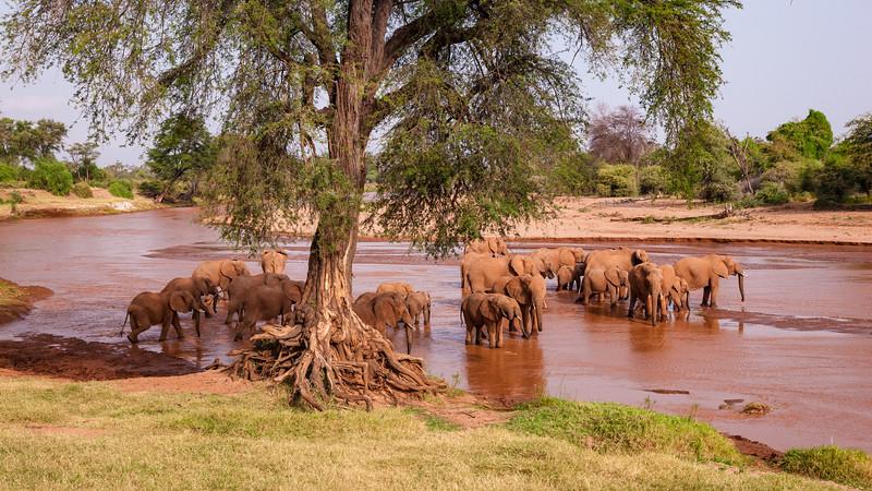 Africa. Kenya. A herd of Elephants approaches the Uaso Nyior River to bathe at Samburu NP.