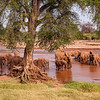 Africa. Kenya. A herd of Elephants approaches the Uaso Nyior River to bathe at Samburu NP.