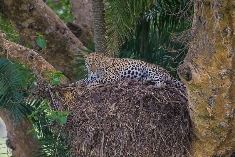 Africa. Tanzania. African leopard (Panthera pardus) in a tree in Serengeti NP.