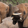African Elephants at Samburu NP, Kenya.