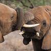 African Elephants at Samburu NP, Kenya.
